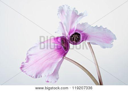 Pink cyclamen bloom. Blooming flower.