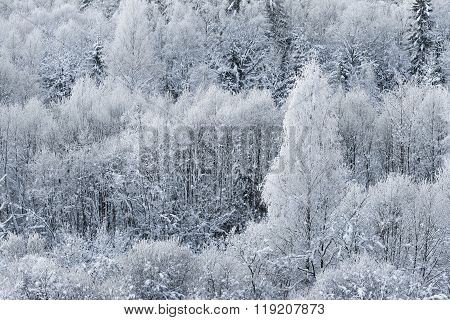 Aerial View Of Snow And Rime Covered Trees