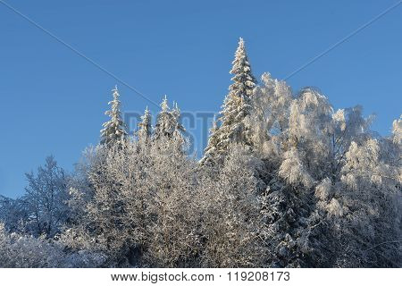 View Of Snow And Rime Covered Trees