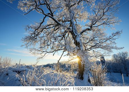 Lonely Oak Tree Covered With Snow And Rime Against Blue Sky