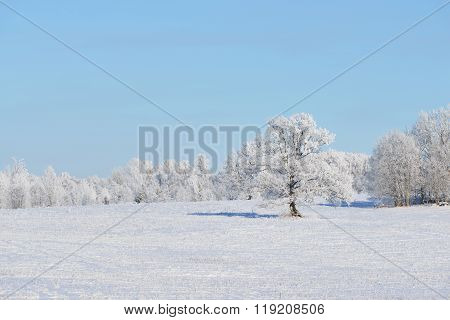 Lonely Oak Tree On A Snowcovered Field Surrounded By Forest