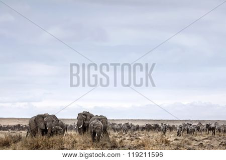Herd of Elephants graze in the Maasai Mara