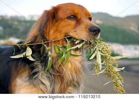 Dog with  wormwood