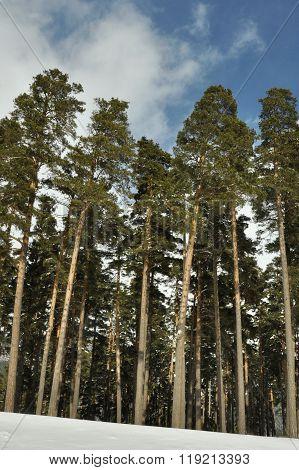 mast pines