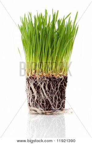 Pasto de trigo fresco verde sobre fondo blanco