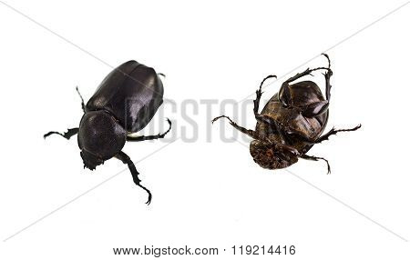 Female Rhinoceros Beetle