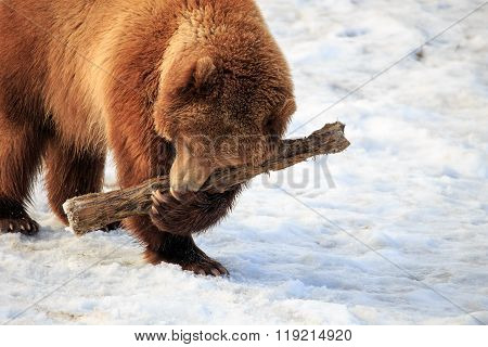 Grizzly Playing Pickup Logs.