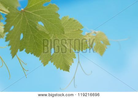 Grapevine leaves on blue swimming pool background