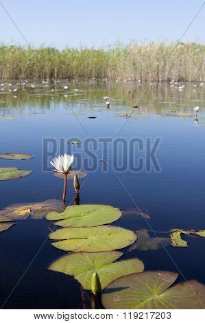 Calm waters of the Okavango Delta, Botswana. ** Note: Shallow depth of field
