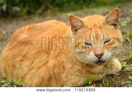 Yellow Male Tabby Cat