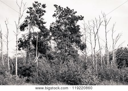 Bw Shot Of Dead Birches And Pine Trees