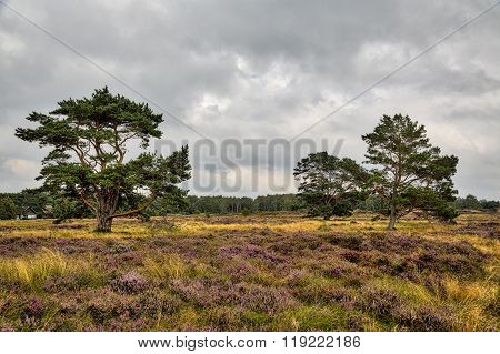 Hdr Shot Of Hiddensee Heath With Pine Trees And Cloudscape