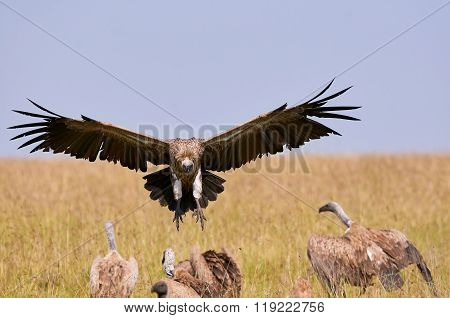 Vulture While Lands