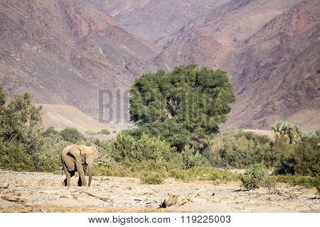 Desert Elephant in the Kunene region of Namibia. ** Note: Visible grain at 100%, best at smaller sizes