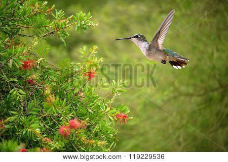 Hummingbird Over Blurred Green Summer Background