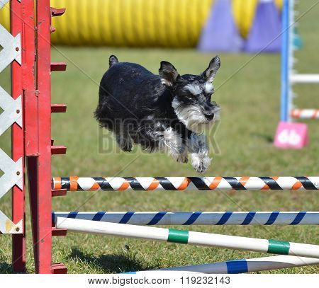Miniature Schnauzer At Dog Agility Trial