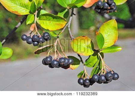 Black Ashberry (aronia Melanocarpa)