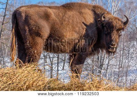 Bison Wild Mammal Portrait