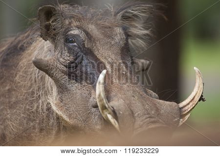 Warthog portrait in Hwange National Park, Zimbabwe