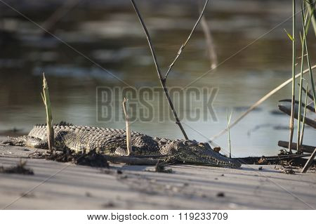 Crocodile basking on a sand bank in the Okavango