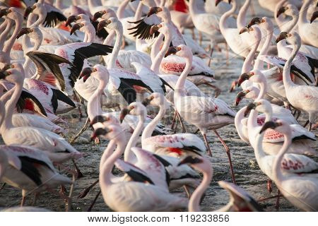 Flamingos at the Walvis Bay wet land in Namibia. ** Note: Visible grain at 100%, best at smaller sizes