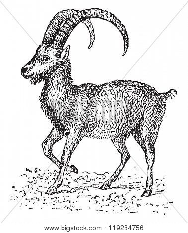 Ibex, vintage engraved illustration. Dictionary of words and things - Larive and Fleury - 1895.