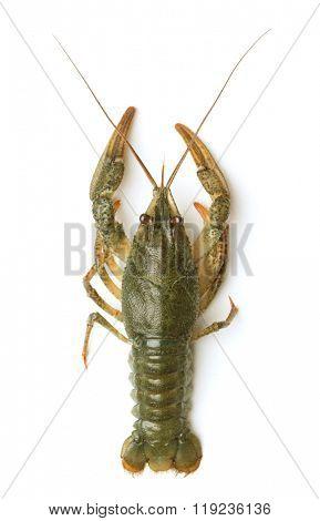 Crayfish on a white background