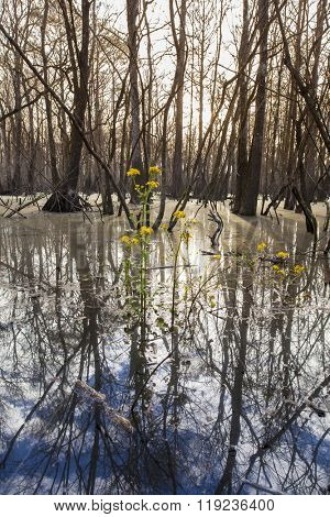 Cypress swamp in northern Florida with yellow flowers