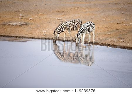 Zebra drink at a water hole in Etosha National Park ** Note: Soft Focus at 100%, best at smaller sizes