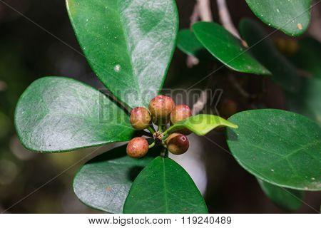 Amelanchier ovalis, Serviceberry Shru in Thailand garden