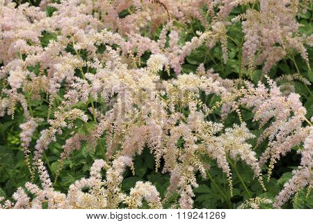 Astilbe within the family Saxifragaceae