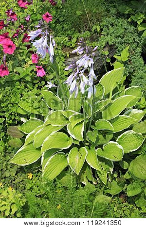 Hosta commonly known as hostas, plantain lilies
