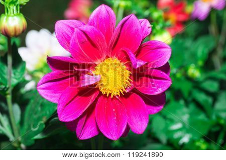 the Beautiful Dalia flower