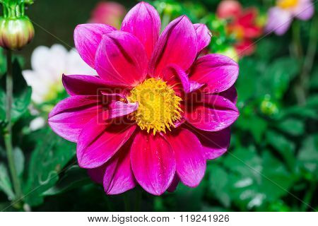 Beautiful Dalia,georginia in garden