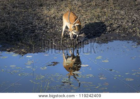 Lechwe drinks from a side estuary in the Caprivi region of Namibia
