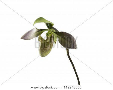 solated paphiopedilum orchid or lady slipper flower on white background