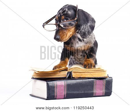 dachshund puppy in glasses and book
