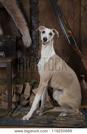 Hunting Dog Whippet