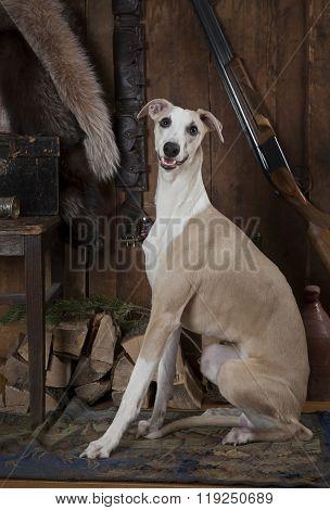 Hunting Dog Whippet