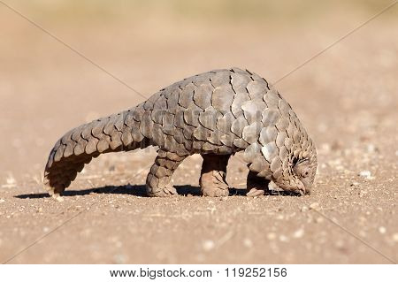 Pangolin searching for ants in the Kalahari, Namibia