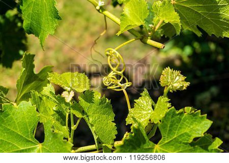 Intertwined grape vine against blurry green background. Nature metaphor of entanglement intertwinement. Shallow dof selective focus