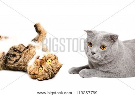 Portrait of two cats Scottish Fold