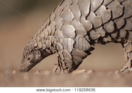 Pangolin digging for ants in the dirt
