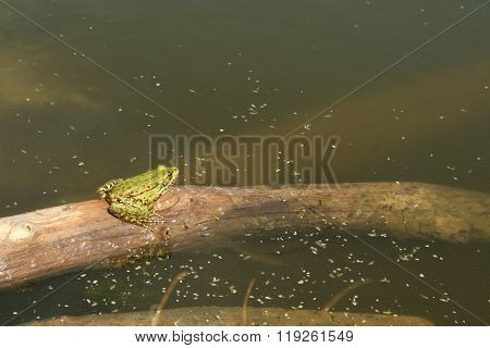 Green Frog Basking In The Sun On The Stick