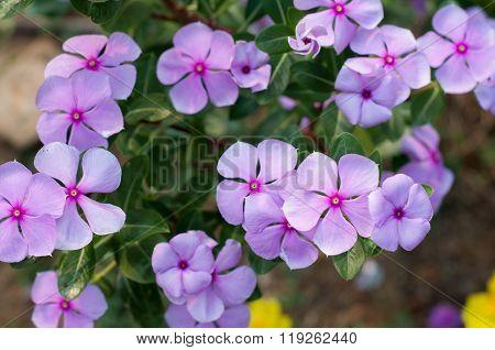 Vinca Flower.