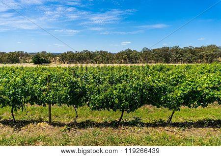 Australian vineyard with rural nature background