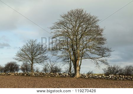 Trees At A Drystone Wall