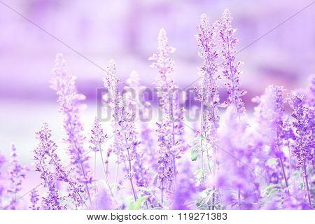 Close Up Beautiful Purple Blue Flower In Garden , Sage Plant (lat. Salvia Officinalis)