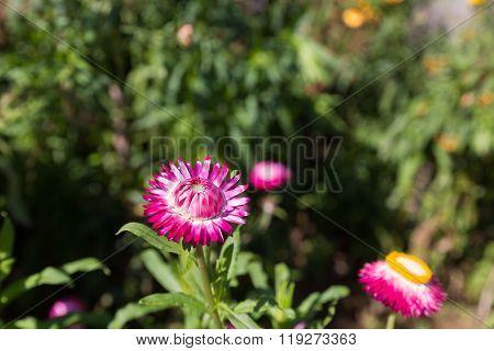 Straw Flower In The Field