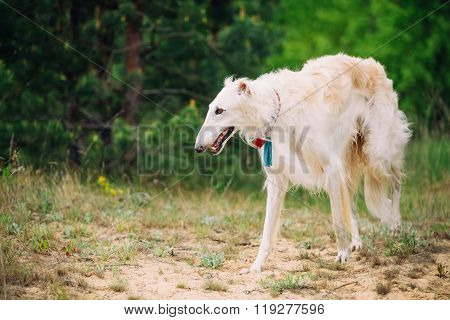 White Russian Wolfhound Dog, Borzoi, Sighthound in Spring Summer